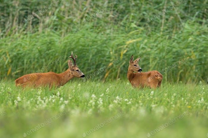 Paar Rehe stehen im Sommer auf dem Feld