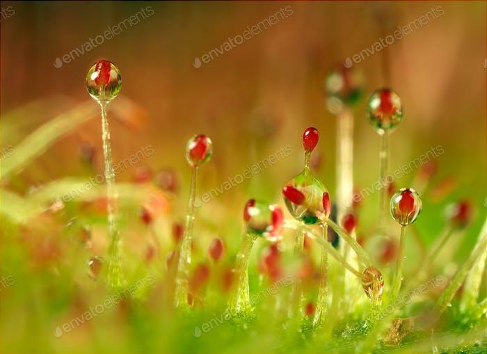 sundew garden