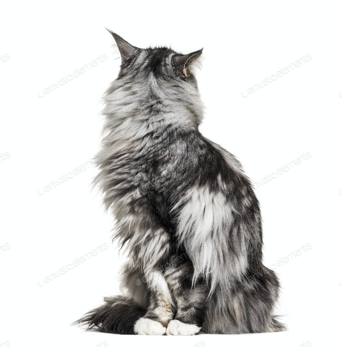 Main coon cat sitting, lokking back, isolated on white