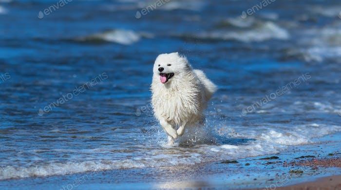 Samoyed dog running on sea beach. Concept about animals and nature.