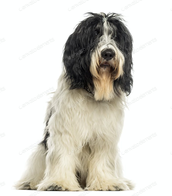 Dutch Sheepdog sitting, isolated on white