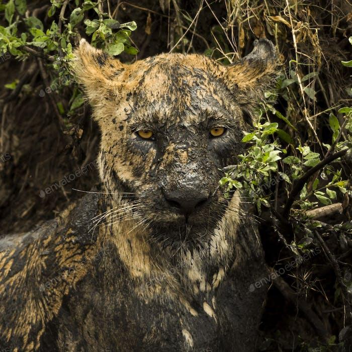 Nahaufnahme einer schmutzigen Löwin, Serengeti, Tansania, Afrika
