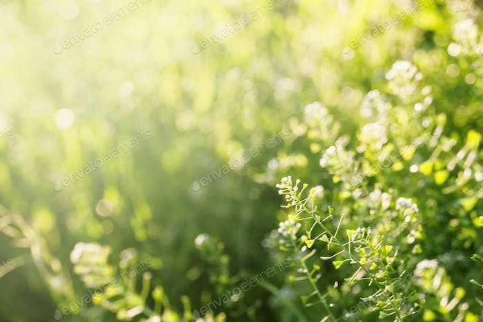 Summer background, grass at sunset, backlit with natural bokeh