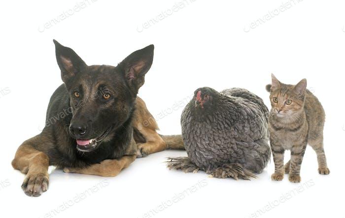 kitten, chicken and malinois