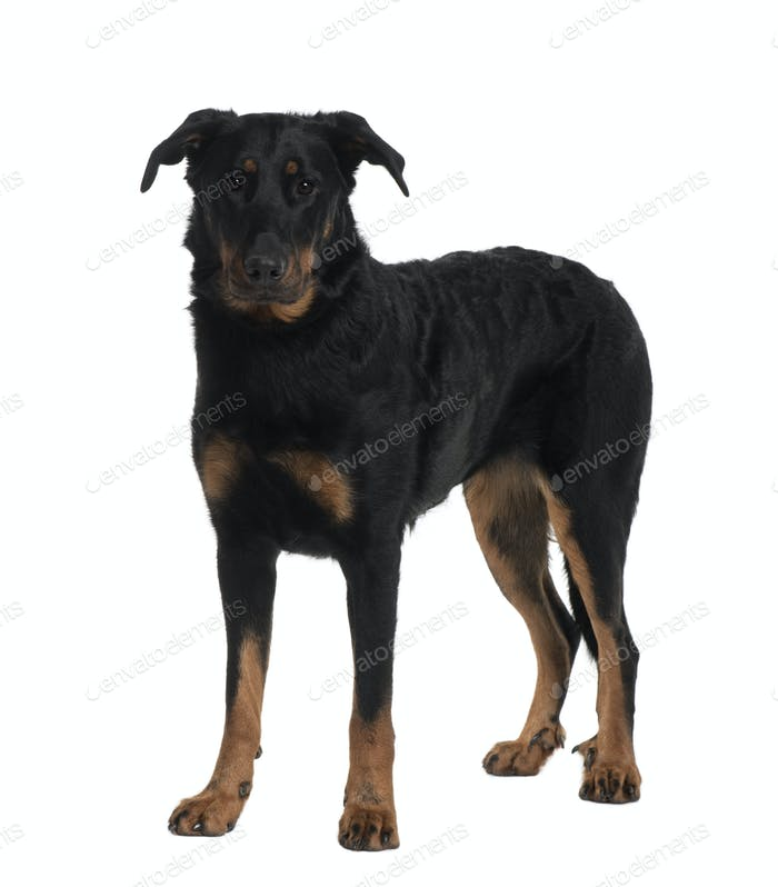 Beauceron, 2 Years old, standing in front of white background