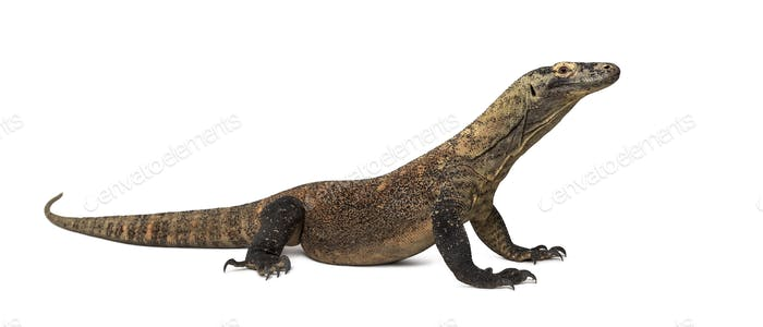 Komodo Dragon isolated on white