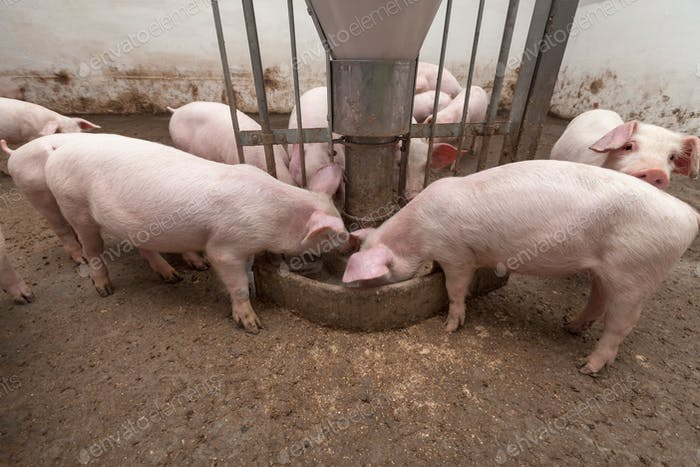 Schweinehaus