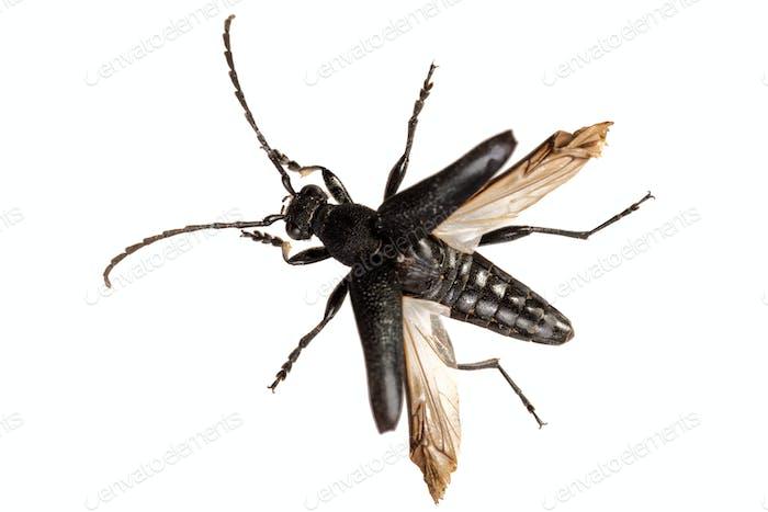 Beetle (Stictoleptura scutellata) on a white background