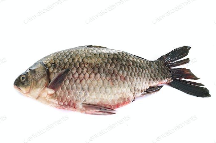 common carp in studio