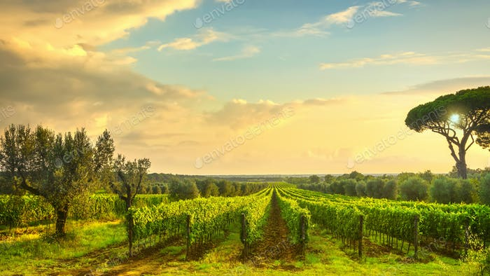 Bolgheri vineyard at sunset. Maremma, Tuscany, Italy