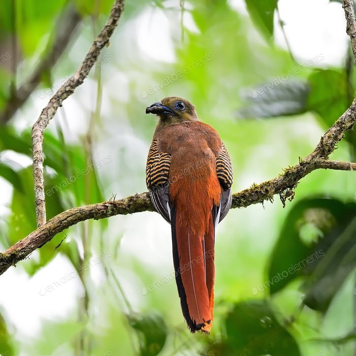 female Orange-breasted Trogon
