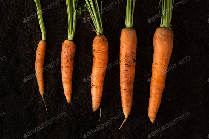 Horizontal photo of fresh carrots on dark soil background textur