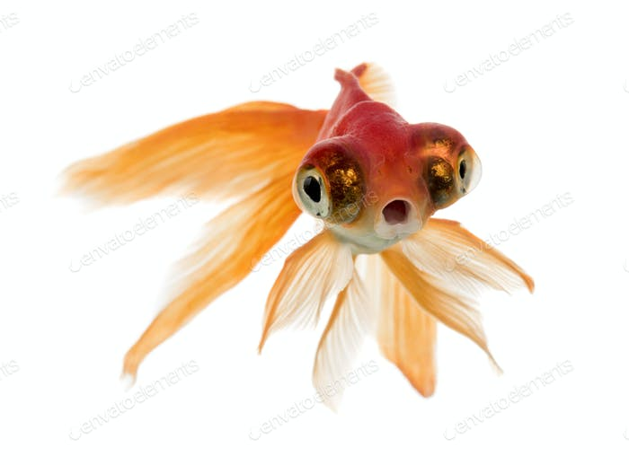 Front view of a Goldfish swimming islolated on white
