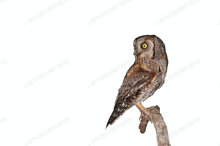 Alert eurasian scops owl sitting on a branch isolated on white background
