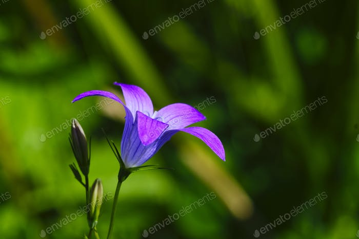Bell flower with blurred background
