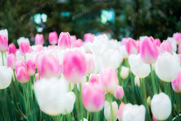 Rosa mit schönen Tulpen