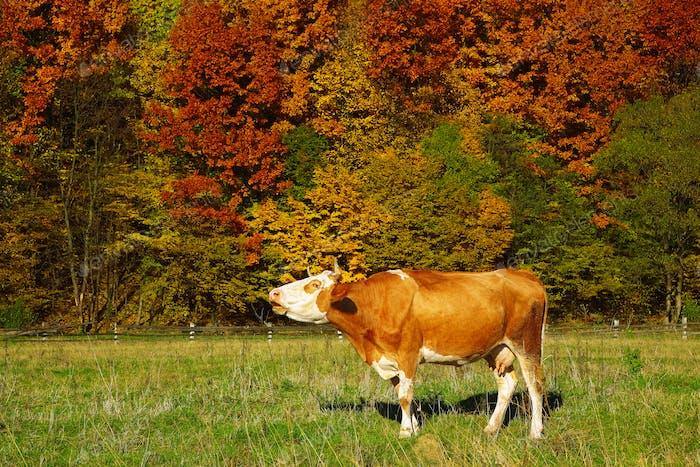 Einzelne Kuh Moos in der Nähe von farbigem Herbstwald