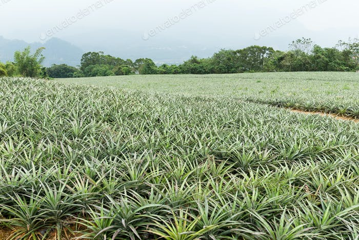 Cultivation of pine apple