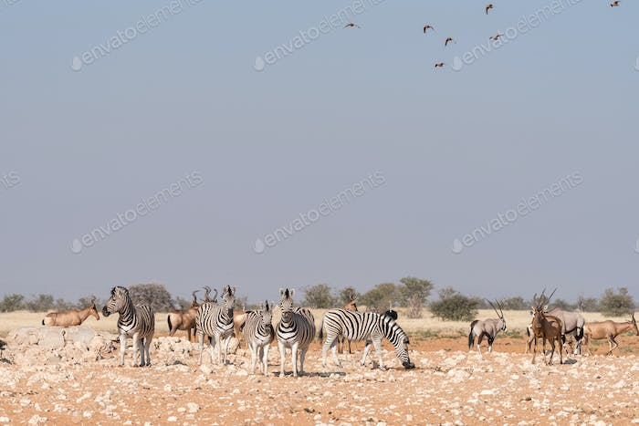 Burchells zebras, Oryx, red hartebeest with sandgrouses in the air at a waterhole