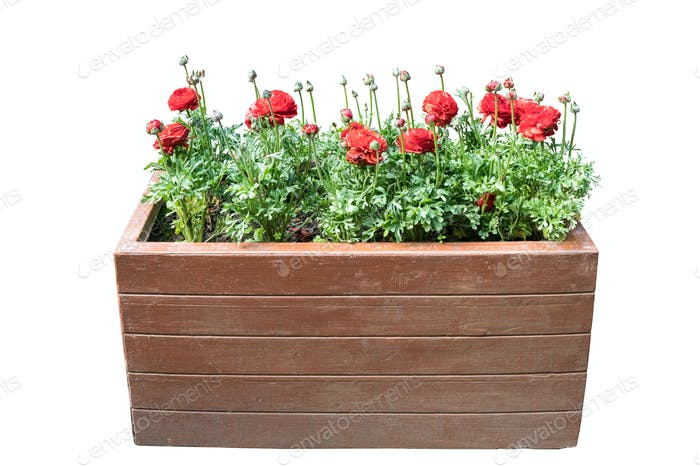 ranunculus asiaticus in wooden box on white