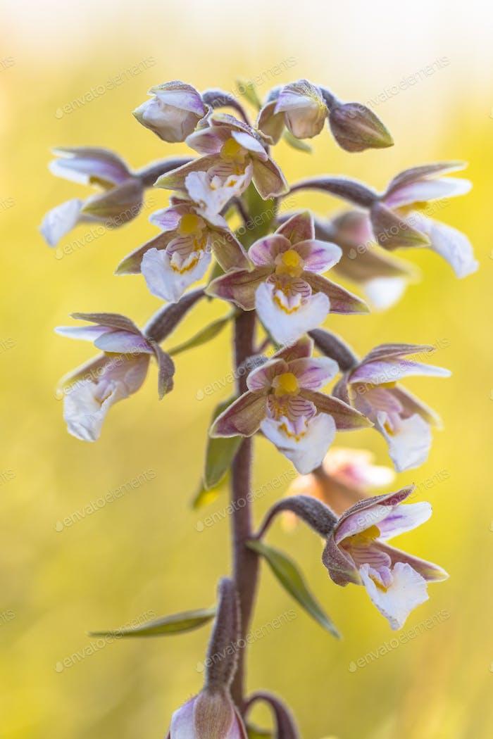 Marsh helleborine orchid flowers in bloom