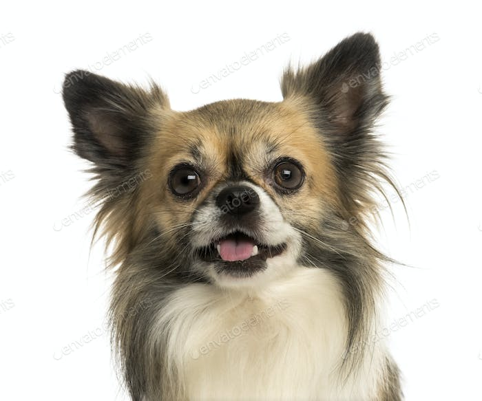 Close-up of a Chihuahua panting, isolated on white