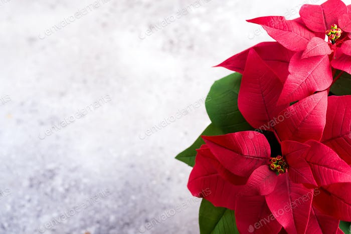 Red poinsettia christmas plant on a stone gray background with copy space. Flat lay. Christmas gift