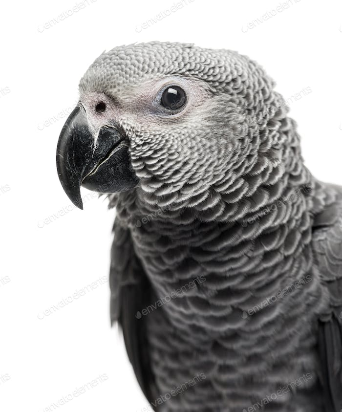 Close-up of a African Grey Parrot (3 months old) isolated on white