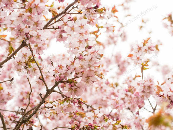 Branch with blossoms Sakura.