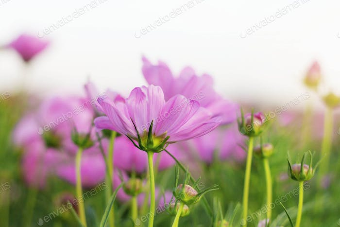 Pink cosmos at sunlight