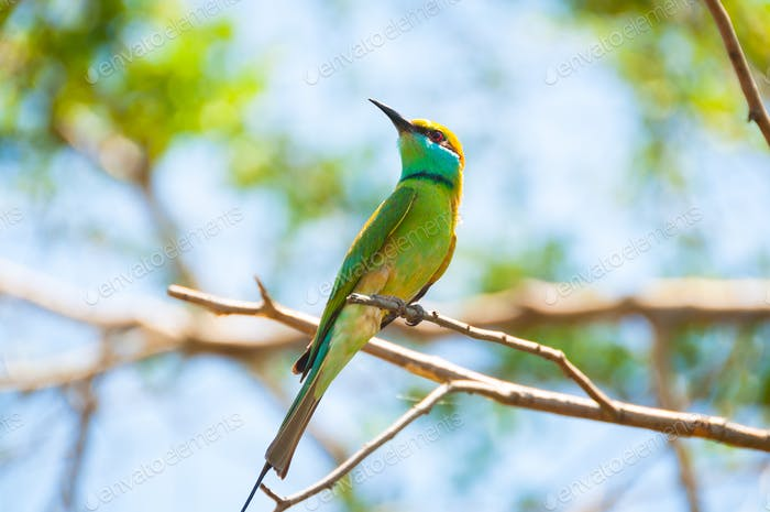 Brightly coloured little bee eater