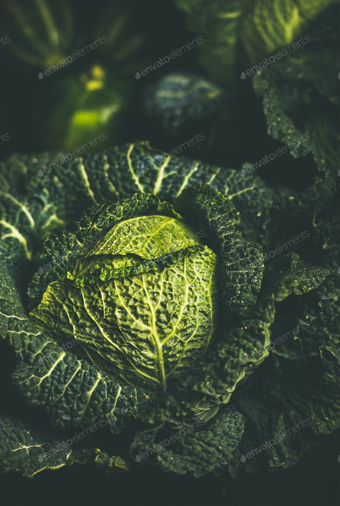 Close-up of raw fresh green cabbage texture and background