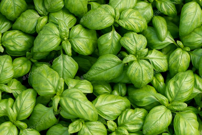 Basil leaves as natural food background