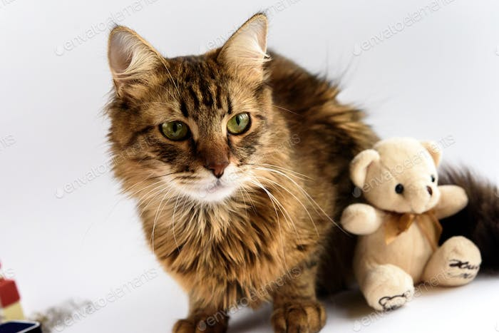 cute adorable cat and teddy toy on white background