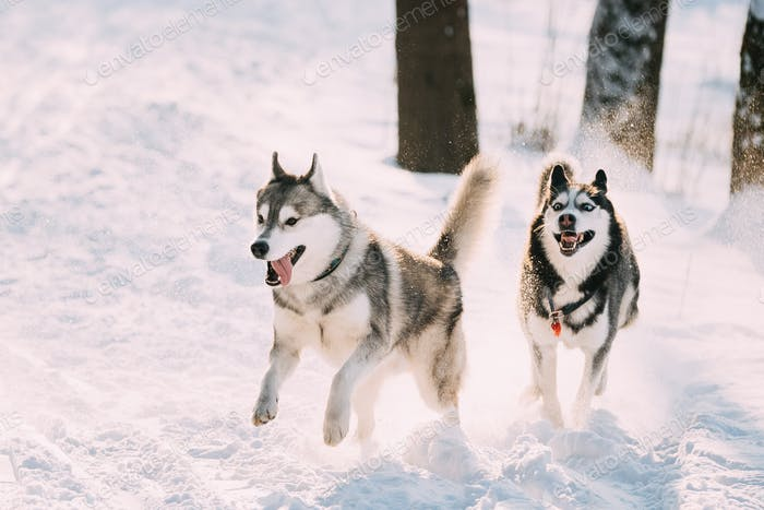 Happy Siberian Husky Dogs Running Together Outdoor In Snowy Park At Sunny Winter Day. Smiling Dog