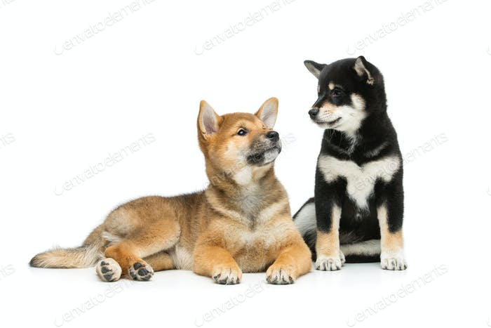 Beautiful shiba inu puppies isolated on white