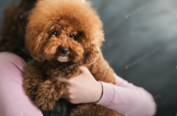 Toy poodle dog on gray studio background