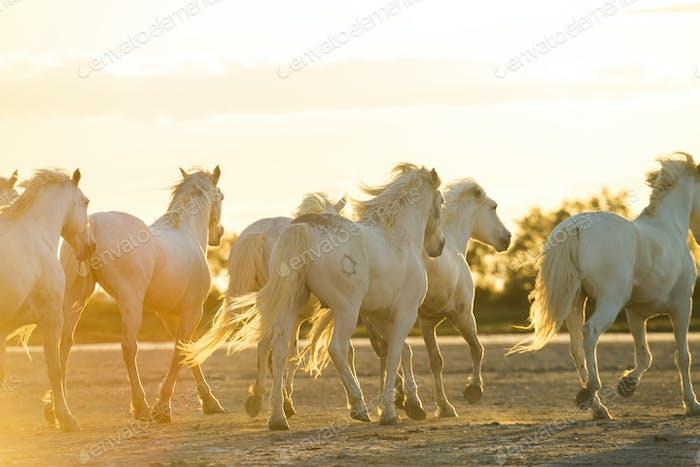 Medium group of white horses running across land at sunset.