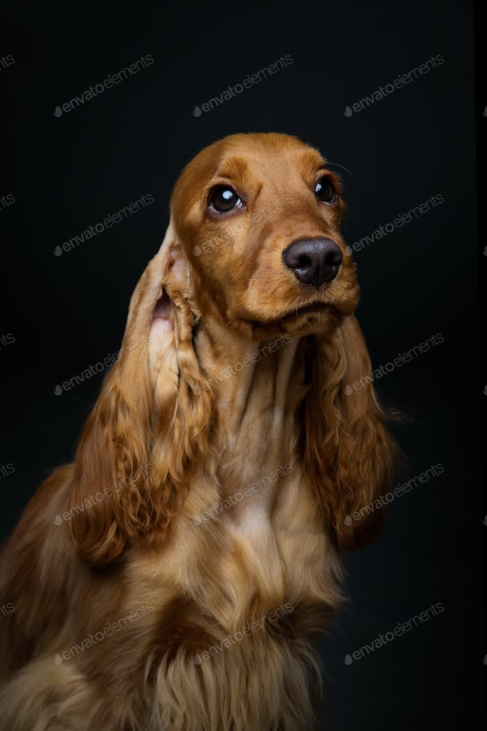Beautiful young cocker spaniel