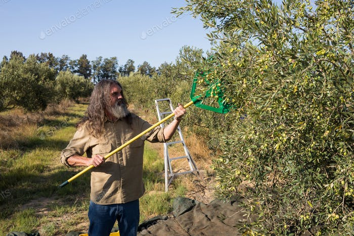 Farmer harvesting olive with rack