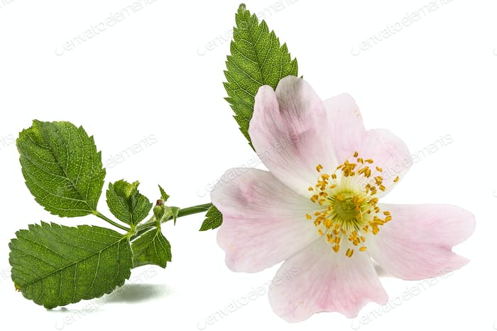 Flower of wild rose, isolated on white background
