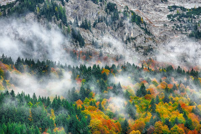 Beautiful mountain coniferous forests covering with a lot of fog
