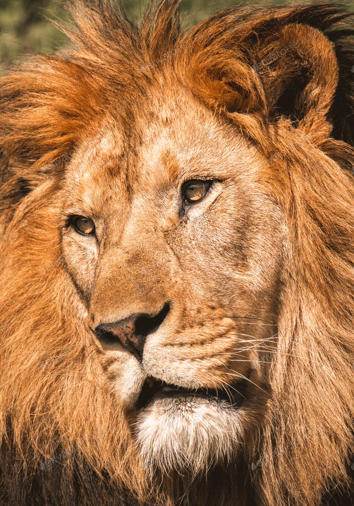 Close up portrait of a mighty lion