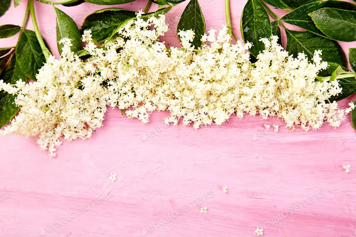Flower of elder on pink background
