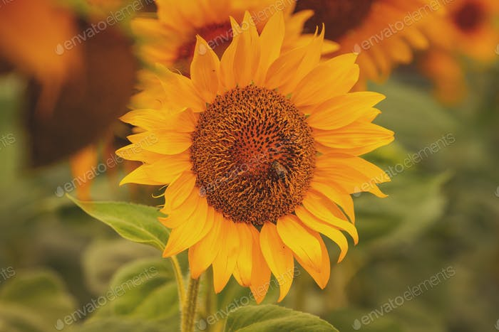 Honey bee pollinating blooming sunflower in field