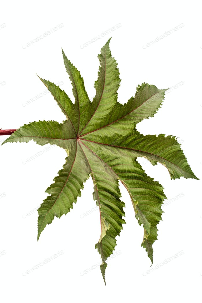 Leaf of ricinus communis close-up. isolated on white background