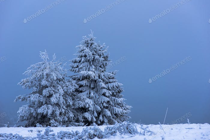 Fir tree covered with snow. Winter holidays concept