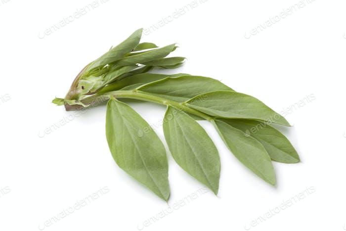 Fresh broadbean leaves