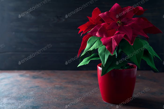 Beautiful red Christmas flower Poinsettia on a dark wooden background with deep light