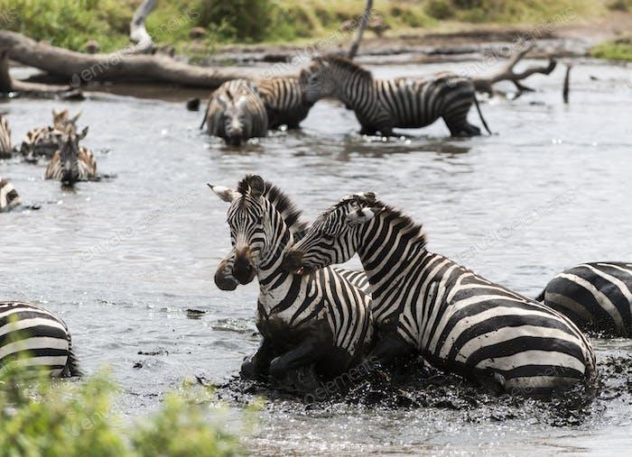 Zebras fighting in a river, Serengeti, Tanzania, Africa